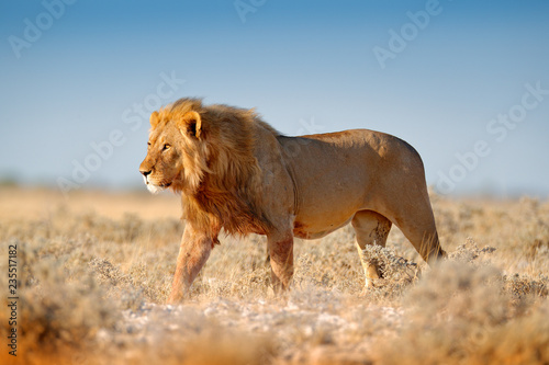 Naklejka premium Duży lew z grzywą w Etosha, Namibia. Lew afrykański spacerujący po trawie, przy pięknym wieczornym świetle. Scena dzikiej przyrody z natury. Aninal w środowisku.