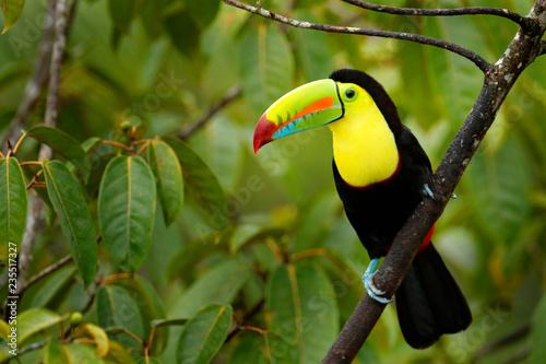 Naklejka premium Tukan siedzący na gałęzi w lesie, zielona roślinność, Panama. Podróże przyrodnicze w Ameryce Środkowej. Keel-billed Toucan, Ramphastos sulfuratus, ptak z dużym rachunkiem. Wildlife Panama.