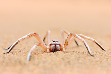 Golden wheel spider, Carparachne aureoflava, dancing white lady in the sand dune. Poison animal from Namib desert in Namibia. Travelling in Africa with dangerous spider.