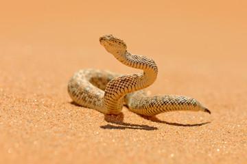 Bitis peringueyi, Péringuey's Adder, poison snake from Namibia sand desert. Small viper in the nature habitat, Namib-Naukluft Park in Africa. Wildlife scene from nature, reptile behaviour, sunny day.