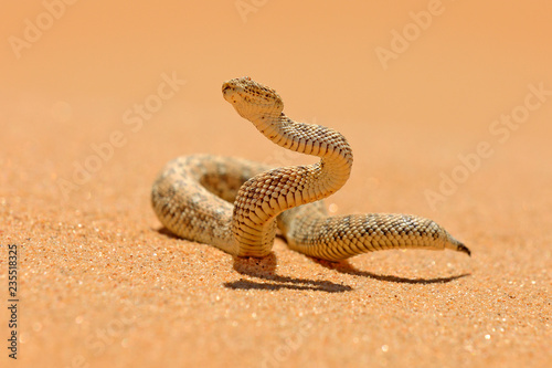 Bitis peringueyi, Péringuey's Adder, poison snake from Namibia sand desert. Small viper in the nature habitat, Namib-Naukluft Park in Africa. Wildlife scene from nature, reptile behaviour, sunny day.