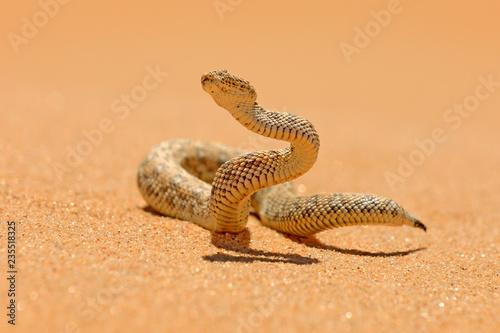 Photo Bitis peringueyi, Péringuey's Adder, poison snake from Namibia sand desert