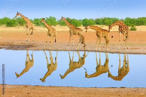 Naklejka premium Grupa żyrafy w pobliżu wodopoju, odbicie lustrzane w wodzie stojącej, Etosha NP, Namibia, Afryka. Wiele żyraf w środowisku naturalnym, afrykańska przyroda. Duże zwierzęta z niebieskim niebem.
