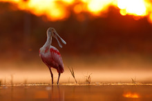 Beautiful Sunrise With Bird, Platalea Ajaja, Roseate Spoonbill, In The Water Sun Backlight, Detail Portrait Of Bird With Long Flat Bill, Pantanal, Brazil. Animal In Foggy Nature, Morning Sunset.