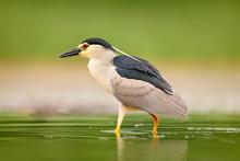 Night Heron, Nycticorax Nyctic...