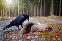Raven With Dead European Roe Deer, Carcass In The Forest. Black Bird With Head On The The Forest Road. Animal Behavir, Feeding Scene In Germany, Europe.