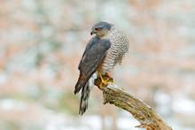 Eurasian Sparrowhawk, Accipite...