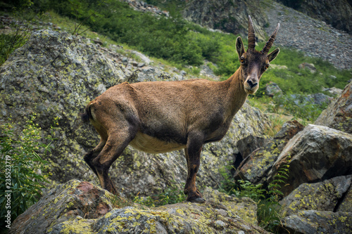 Fotografia  Steinbock in the Maritime Alps (Entracque, Valle Gesso, Cuneo, Piedmont, Italy)