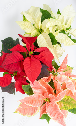 Multi Colored Poinsettias On A White Background Buy This Stock