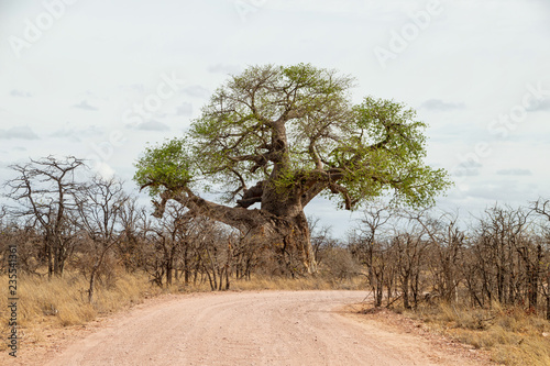 Photo Baobab Trees By the Road