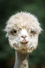 Funny Fluffy White Alpaca Looking To Camera In Headshot