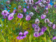 Fading New England Aster Flowers