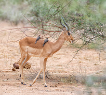 Impala With Oxpeckers