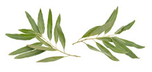 Two Olive Branches Without Fruit Isolated On White Background