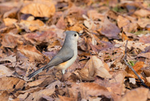 The Tufted Titmouse (Baeolophu...