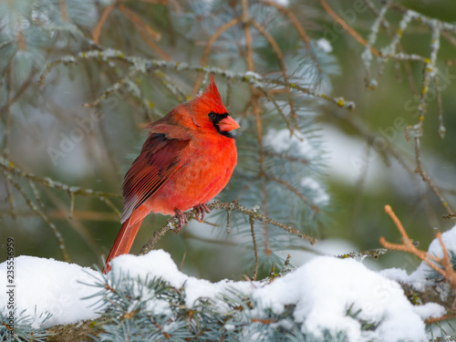 Fotografiet Northern Cardinal Male Perched on Blue Spruce  in Winter