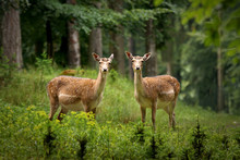Two Fallow Deer In The Forest