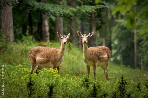 Fototapeta Two fallow deer in the forest obraz