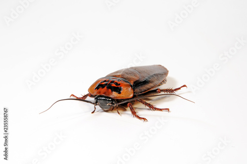 Schabe (Eublaberus posticus) - orange head cockroach Fotobehang