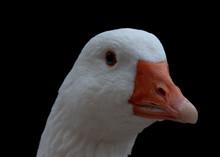 White Goose Head With Orange Beak