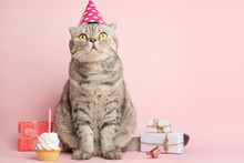 Cat Celebrates Birthday, On A Pink Background