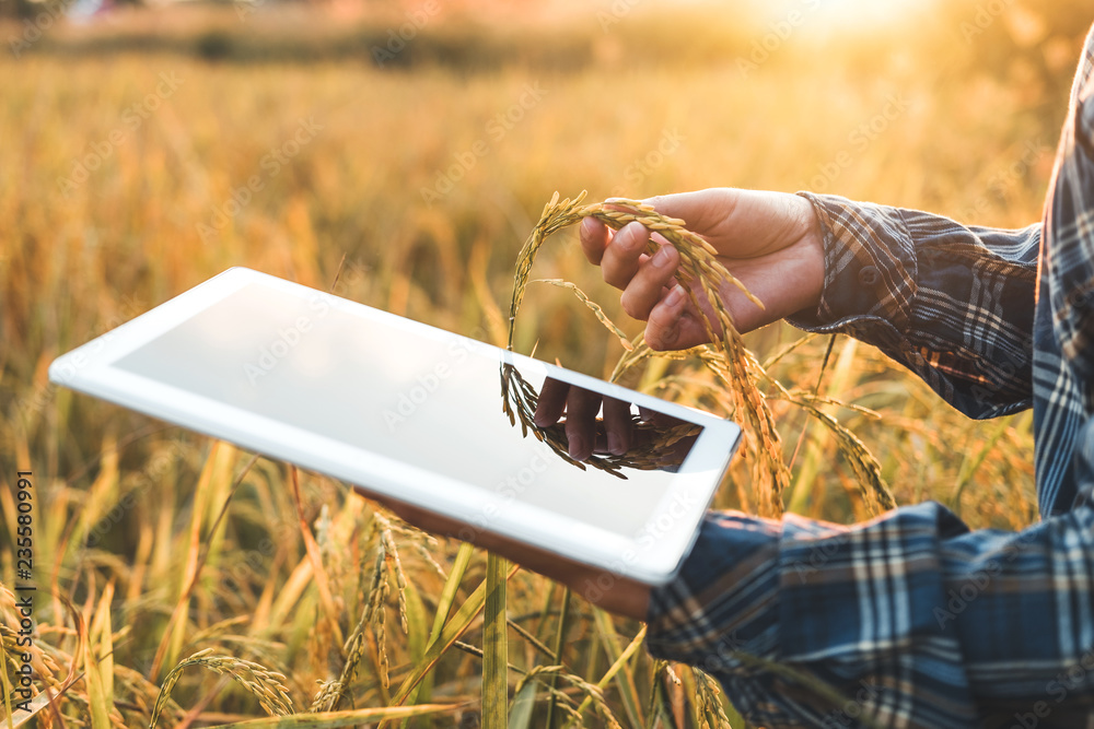 Fototapeta Smart farming Agricultural technology and organic agriculture Woman using the research tablet and studying the development of rice varieties in rice field