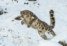 Snow Leopard Leap