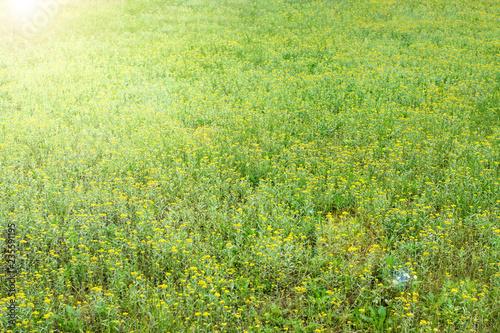 Gnaphalium affine/Yellow flowers/Spring background Canvas Print