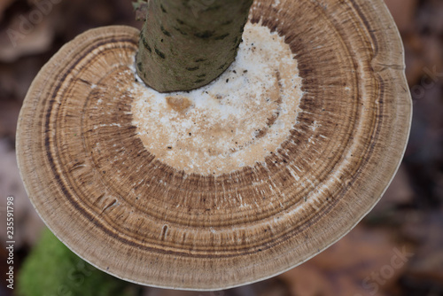 brown polypore fungus on tree macro Fototapet