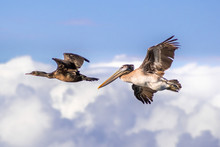 Brown Pelican And Cormorant Flying; White Clouds And Blue Sky Background