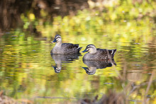 Couple Of Spot Billed Ducks On A Pond Where Reflects Autumn Colored Tree Leaves.