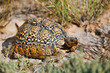 canvas print picture - turtle leopard tortoise, South Africa wildlife