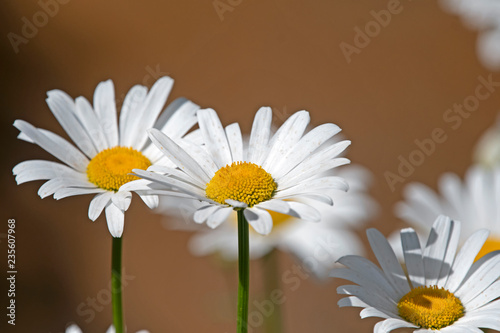 In de dag Madeliefjes White daisy - chamomile on green background after sand storm