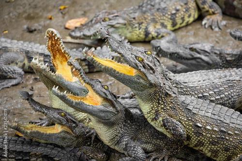 Poster Crocodile Portrait of many crocodiles at the farm in Vietnam, Asia.