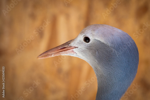 Portrait of Anthropoides paradise or Blue crane, also known a the Stanley or Par Wallpaper Mural
