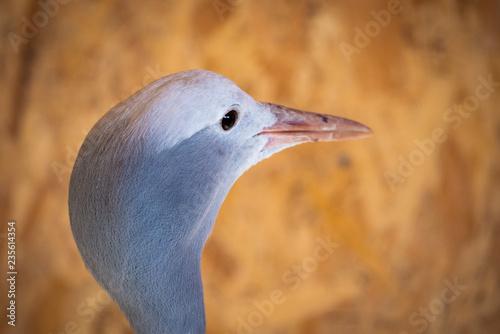 Portrait of Anthropoides paradise or Blue crane, also known a the Stanley or Par Canvas Print