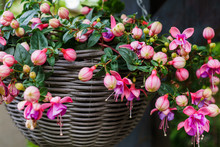 Beautiful Fuchsia Flowers Hanging From The Pot,in The Garden