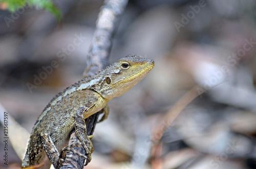 Australian native Jacky Dragon lizard, Amphibolurus muricatus, family Agamidae, on a branch in woodland in the Royal National Park, Sydney, Australia. Endemic to southeast coast of Australia.
