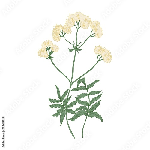 Blooming valerian flowers isolated on white background