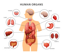 Human Body Internal Organs. St...