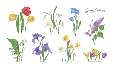 Bundle of natural drawings of spring flowers - tulip, lilac, narcissus, forget-me-not, crocus, lily of the valley, iris, snowdrop. Set of blooming flowering plants. Colorful vector illustration.