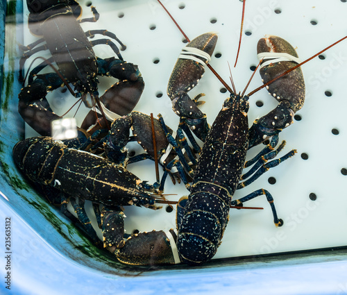 Lobsters in a tank in the fish market. The claws are tied.