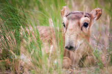Kid Saiga Tatarica Is Listed I...