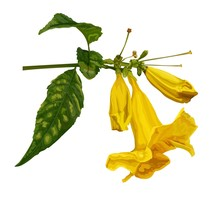 Trumpet Flower Vector