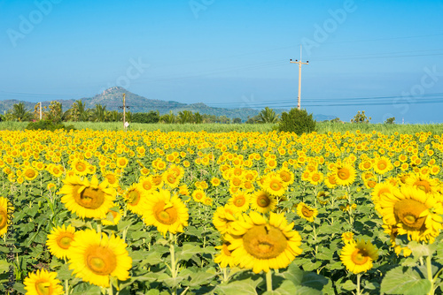Beautiful landscape with field of blooming sunflowers field over cloudy blue sky and bright sun lights.Thailand.