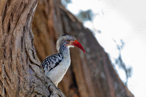 Fotografering  bird red-billed hornbill, Namibia, Africa wildlife