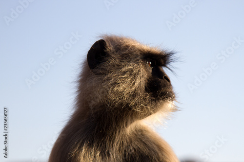 Photo Langur monkey portrait against the clear night sky.