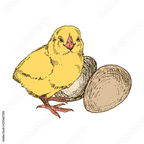 Fotografija Vector chick breeding hand drawn set