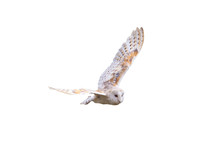 Barn Owl With Spread Wings Fly...