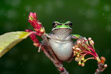 Gray Treefrog In The Green Form Sitting On A Common Milkweed Leaf